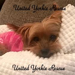 United Yorkie Rescue A 501c3 Non Profit Yorkshire Terrier