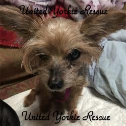 United Yorkie Rescue A 501c3 Non Profit Yorkshire Terrier