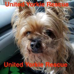United Yorkie Rescue A 501 C 3 Non Profit Yorkshire