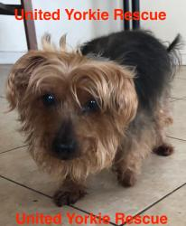 United Yorkie Rescue - A 501(c)(3) Non-Profit Yorkshire Terrier