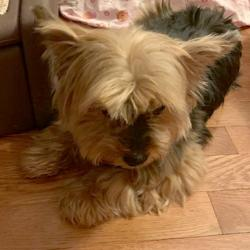 United Yorkie Rescue - A 501(c)(3) Non-Profit Yorkshire Terrier