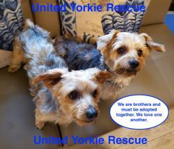 United Yorkie Rescue - A 501(c)(3) Non-Profit Yorkshire